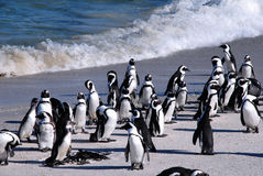 Afrikanische Pinguine am Boulder-Strand (Südafrika) Lizenzfreies Stockbild