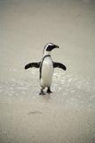 Afrikanische Pinguine an den Fluss-Steinen setzen, Südafrika auf den Strand lizenzfreie stockfotos