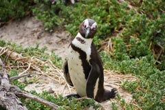 Afrikanische Pinguine an der falschen Bucht in Südafrika Lizenzfreie Stockfotos