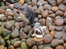 2 afrikanische Pinguine, die auf den mehrfarbigen Felsen schauen getarnt stehen stockbilder