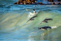 Afrikanische Pinguine, die im Meereswogen schwimmen Lizenzfreies Stockfoto