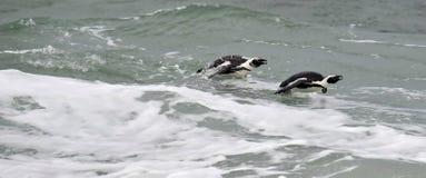 Afrikanische Pinguine, die im Ozean schwimmen Lizenzfreie Stockbilder