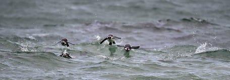 Afrikanische Pinguine, die im Ozean schwimmen Lizenzfreie Stockfotografie