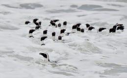 Afrikanische Pinguine, die im Ozean schwimmen Lizenzfreie Stockfotos