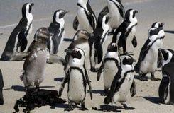 Afrikanische Pinguine am Fluss-Stein-Strand Stockbild
