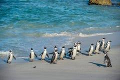Afrikanische Pinguine gehen aus dem Ozean auf dem sandigen Strand heraus Afrikanischer Pinguin | Spheniscus demersus Stockfoto