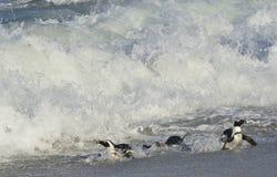 Afrikanische Pinguine gehen aus dem Ozean auf dem sandigen Strand heraus Afrikanischer Pinguin u. x28; Spheniscus demersus& x29;  Stockfotos