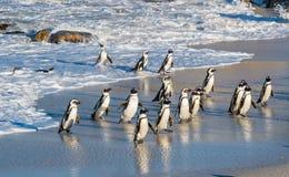Afrikanische Pinguine gehen aus dem Ozean auf dem sandigen Strand heraus Afrikanisches Pinguin Spheniscus demersus alias das Esel Stockfotografie