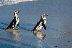 Afrikanische Pinguine gehen aus dem Ozean auf dem sandigen Strand heraus Afrikanisches Pinguin Spheniscus demersus alias das Esel Stockfoto