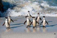 Afrikanische Pinguine gehen aus dem Ozean auf dem sandigen Strand heraus Afrikanisches Pinguin Spheniscus demersus alias das Esel Lizenzfreie Stockfotografie
