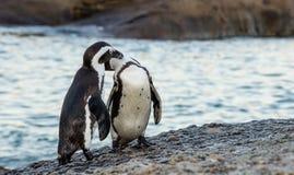 Afrikanische Pinguine gehen aus dem Ozean auf dem sandigen Strand heraus Afrikanisches Pinguin Spheniscus demersus alias das Esel Lizenzfreie Stockfotos