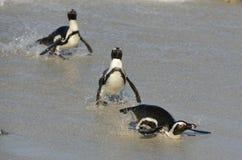 Afrikanische Pinguine gehen aus dem Ozean auf dem sandigen Strand heraus Afrikanisches Pinguin Spheniscus demersus alias das Esel Lizenzfreies Stockbild