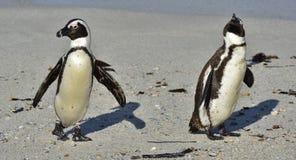 Afrikanische Pinguine gehen aus dem Ozean auf dem sandigen Strand heraus Afrikanisches Pinguin Spheniscus demersus alias das Esel Stockbilder