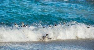 Afrikanische Pinguine schwimmen im blauen Wasser des Ozeans und des Schaums der Brandung Afrikanisches Pinguin Spheniscus demersu Stockfotografie