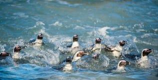Afrikanische Pinguine schwimmen im blauen Wasser des Ozeans und des Schaums der Brandung Afrikanisches Pinguin Spheniscus demersu Lizenzfreie Stockbilder
