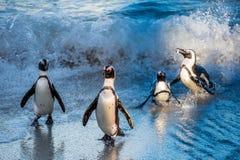 Afrikanische Pinguine schwimmen im blauen Wasser des Ozeans und des Schaums der Brandung Afrikanisches Pinguin Spheniscus demersu Lizenzfreie Stockfotografie