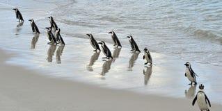 Afrikanische Pinguine (Spheniscus demersus) Lizenzfreies Stockfoto