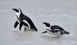 Afrikanische Pinguine (Spheniscus demersus) Stockfotografie