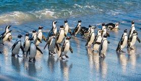 Afrikanische Pinguine Spheniscus demersus Lizenzfreies Stockfoto
