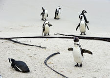 Afrikanische Pinguine am Strand Stockfotografie
