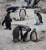 Afrikanische Pinguinfamilie: Mutter mit zwei neugeborenen Babys chickes Ansicht über Stadt und Tabellen-Berg vom seaa versehen mi lizenzfreie stockfotos