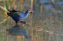 Afrikanische purpurrote Sumpf-Henne Lizenzfreies Stockbild