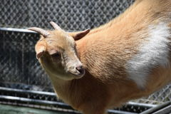Afrikanische Pygmäenziege (Capra hircus) Lizenzfreie Stockfotos