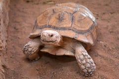 Afrikanische riesige Schildkröte Lizenzfreies Stockfoto