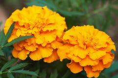 Afrikanische Ringelblume (Tagetes Erecta) Stockfotografie