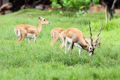 Afrikanische Rotwildfamilie auf dem Gebiet Stockfotos
