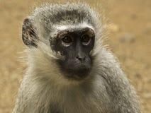Afrikanische Säugetiere Lizenzfreie Stockfotografie