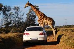 Afrikanische Safari Lizenzfreies Stockfoto