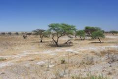 Afrikanische Savanne mit Busch und Bäumen lizenzfreies stockfoto