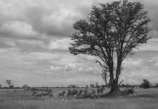 Afrikanische Savanne mit Zebras stockbild