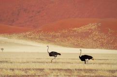 Afrikanische Savanne und Dünen verlassen Landschaft mit ostrichs, Namibische Wüste lizenzfreies stockbild
