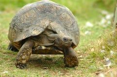 Afrikanische Schildkröte lizenzfreie stockfotos