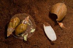 Afrikanische Schnecken Achatina zu Hause Lizenzfreies Stockfoto