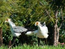 Afrikanische Sekretärvögel lizenzfreies stockbild