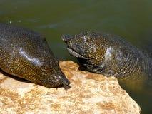 Afrikanische softshell Schildkröten (Trionyx triunguis) Lizenzfreie Stockfotografie