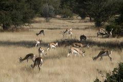 Afrikanische Springböcke Stockfoto
