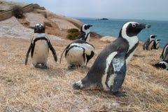 Afrikanische Straußparks und Reserven von Südafrika lizenzfreies stockbild