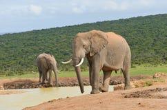 Afrikanische Tiere, Trinkwasser der Elefanten Lizenzfreie Stockbilder