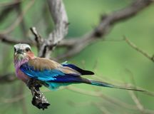 Afrikanische Vögel: Lilacbreasted Rolle stockfotos