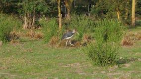 Afrikanische Vogel-Marabu-Wege entlang dem Ufer im Gras, das nach Nahrung sucht stock video footage