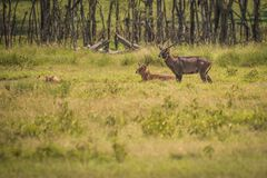 Afrikanische Wasserziege auf Masai Mara in Kenia Lizenzfreie Stockfotos