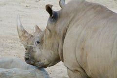 Afrikanische weißes Nashorn-Kopf-Nahaufnahme Lizenzfreie Stockbilder