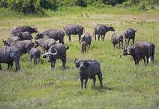 Afrikanische weiden lassende Büffelherde Stockbild