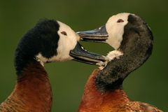 Afrikanische white-faced Enten Stockbild