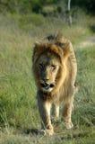 Afrikanische wild lebende Tiere Lizenzfreies Stockfoto