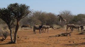 Afrikanische wild lebende Tiere Lizenzfreies Stockbild